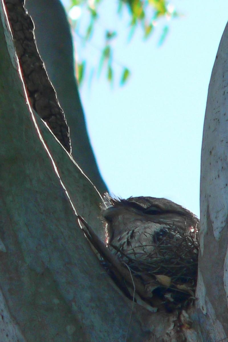 Marbled Frogmouth (Podargus ocellatus) ©Len Matthews