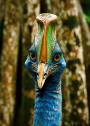 Cassowary From Pinterest