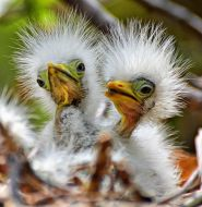 Egrets - silly looking little guys From Pinterest