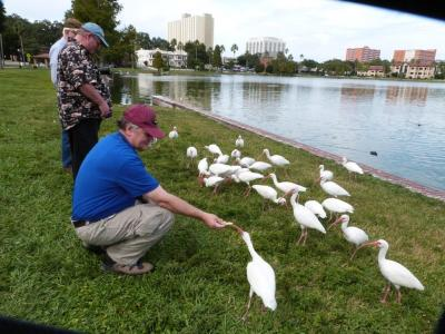 Feeding White Ibises at Lake Morton
