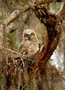 Great Horned Owl Chick in Nest From Pinterest