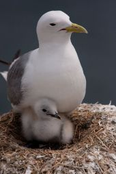 Kittiwake and chick From Pinterest