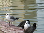 Laughing Gulls and Coots - Lake Morton by Lee
