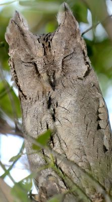 Napping Pallid Scops Owl by Yogesh Bhandarkar From Pinterest