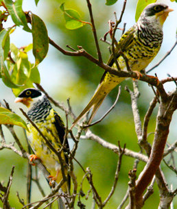 Swallow-tailed and Palkachupa Cotinga