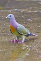 Pink-necked Green Pigeon (S E Asia) From Pinterest