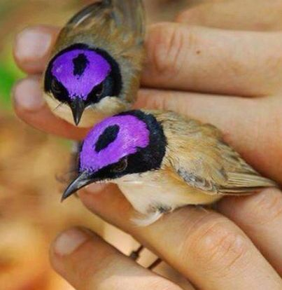 Purple-crowned Fairywren From Pinterest