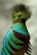 Resplendent Quetzal From Pinterest