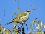 PAS-Coti Swallow-tailed Cotinga (Phibalura flavirostris) ©WikiC