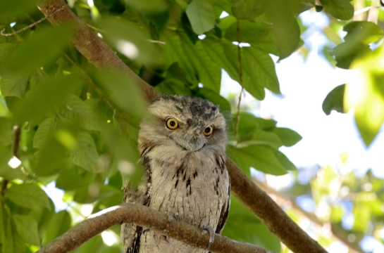 Tawny Frogmouth at Wings of Asia by Dan