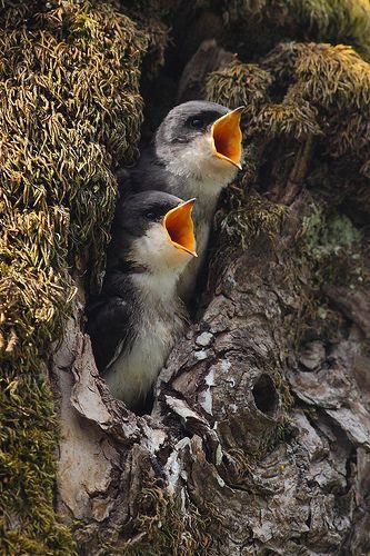 Tree Swallows Ridgefield National Wildlife Refuge by jeremyjonkman on Flickr From Pinterest