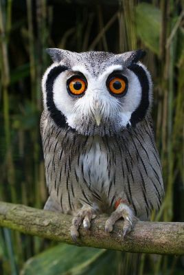White-faced Scops Owl photo #owls by royspiccys From Pinterest