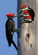 Woodpeckar Feeding Chicks From Pinterest