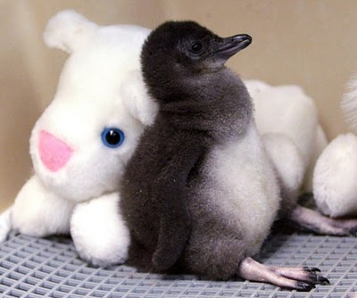 A two-week-old Little Penguin rests against a stuffed animal in an incubator at the Cincinnati Zoo