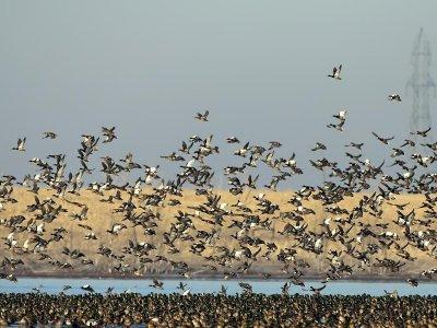 American Wigeon flocks