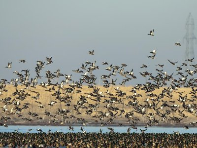 American Wigeon flocks ©©