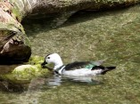 Cotton Pygmy Goose (Nettapus coromandelianus)