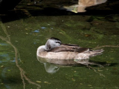 Cotton Pygmy Goose (Nettapus coromandelianus) at Wings of Asia by Lee