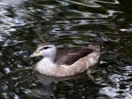 Birds of Asia – Cotton PygmyGoose
