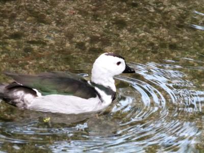Cotton Pygmy Goose (Nettapus coromandelianus) by Lee