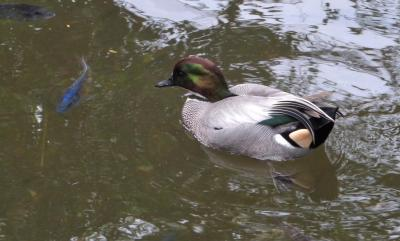 Falcated Duck (Anas falcata) at Wings of Asia by Lee
