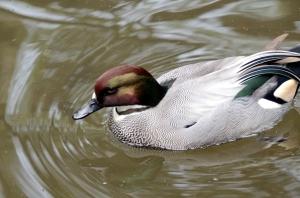 Falcated Duck (Anas falcata) by Dan at ZM