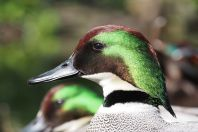 Falcated Duck (Anas falcata) ©WikiC