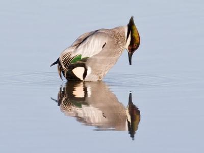Falcated Duck (Anas falcata) ©WikiC