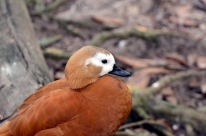 Ruddy Shelduck (Tadorna ferruginea) at Wings of Asia by Dan