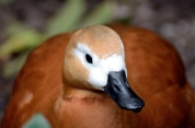 Ruddy Shelduck (Tadorna ferruginea) at Wings of Asia by Dan