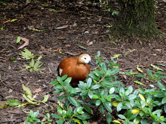 Ruddy Shelduck (Tadorna ferruginea)  at Wings of Asia by Lee