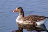 Bohemian goose