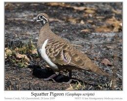 Ian's Bird of the Week – SquatterPigeon