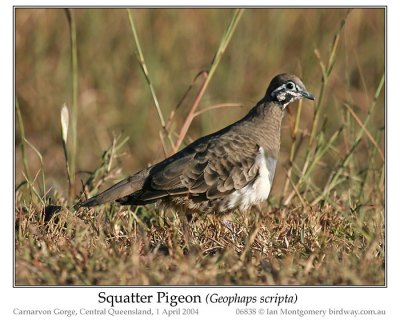 Squatter Pigeon (Geophaps scripta) by Ian