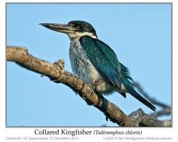 Ian's Bird of the Week – CollaredKingfisher