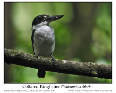 Common Kingfisher (Alcedo atthis) by Ian