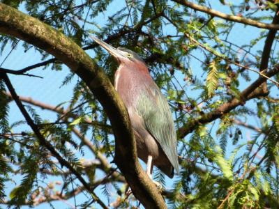 Green Heron at Flamingo Gardens by Lee 2014