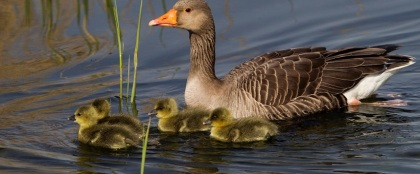 Greylag Goose with chicks