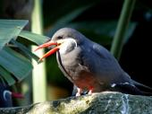 Inca Tern at Lowry Park Zoo by Lee 12-26-14