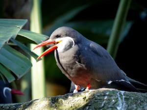 Inca Tern at Lowry Park Zoo by Lee 12-26-14