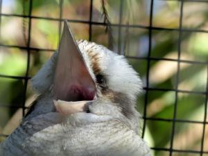 Laughing Kookabura at Lowry Park Zoo by Lee 12-26-14