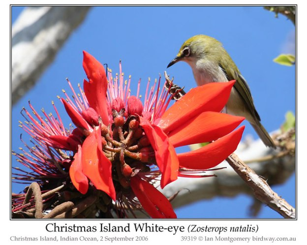 Christmas Island White-eye (Zosterops natalis) by Ian