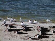 Skimmers - Gulls - Terns resting at the shore MacDill by Lee