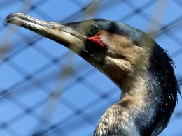 White-breasted Cormorant Update
