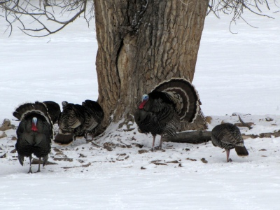 Turkeys in Snow ©Bryant Olsen Flickr