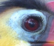 Wrinkled Hornbill (Aceros corrugatus) Eye at Brevard Zoo by Lee