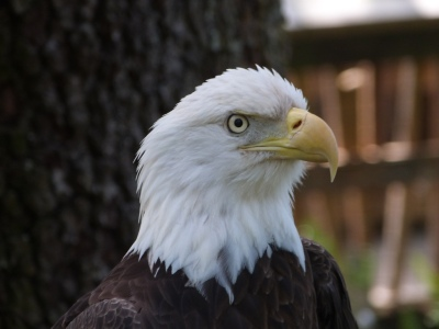 Bald Eagle at Lowry Park Zoo by Lee