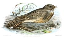 Star-spotted Nightjar (Caprimulgus stellatus) ©Drawing WikiC