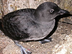 Cassin's Auklet In Trouble