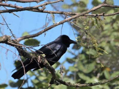 Crow at Flamingo Gardens by Lee (210)